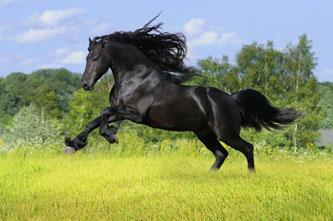 Schönes schwarzes Pferd