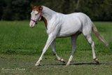 erstklassig gezogener Paint Horse Wallach