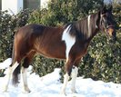 Beautiful Mare for leisure & area! Beginner horse