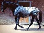 Knabstrupper Stallion kören capable in the ZFDP Europ.Tigerscheck
