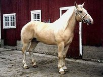 American Cream Draft Horse Horse