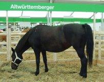 Alt-Württemberger Pferd