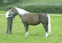 Abtenauer Horse