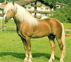 Horse Breed Avelignese