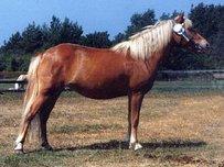 Gotland Pony Horse