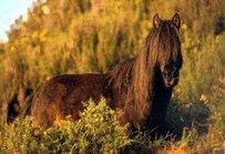Asturian Horse