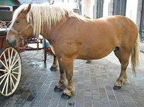 Comtois Horse Horse