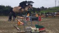 Connemara Performance Ponies from Ireland