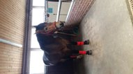 HORSE for sale loyal soul 4J.,, incl. Saddle and accessories