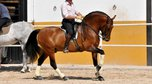 GP paver PRE Stallion, working also on the long reins