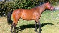 Fahrpferd, Stute, braun, Stm.: 154 cm