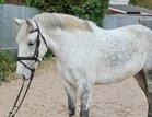 Brilliant gelding! Beginners/back one dough er horse
