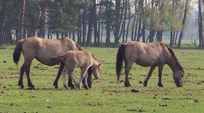 Horse Breed Dülmen Pony