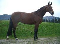 Bayerisches Warmblut Pferd
