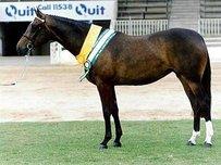 Anglo-Araber / AA Pferd