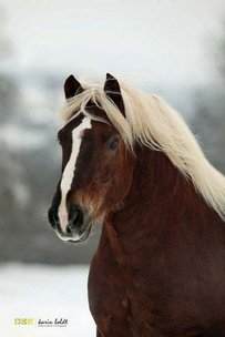 Black Forest Chestnut Horse