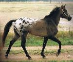 Tiger Horse Pferd