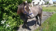 Type full riding pony Mare, yearling by Quaterbacks junior